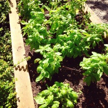 basil plants in the backyard
